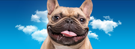 retouched: French bulldog isolated over blue cloudy background, retouched Stock Photo