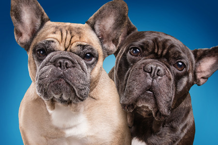 retouched: French bulldogs isolated over blue background, retouched