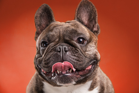 faun: French bulldog isolated over red background, retouched