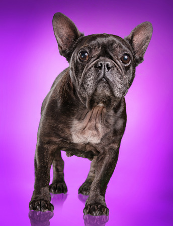 retouched: French bulldog isolated over purple background, retouched Stock Photo
