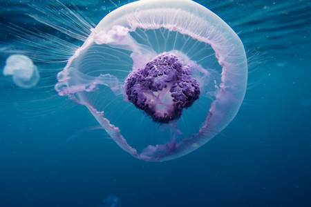 creature: beautiful small jellyfish in red sea