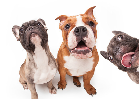 French bulldogs isolated over white background, retouched