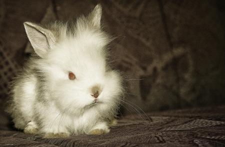 lapin blanc: lapin blanc