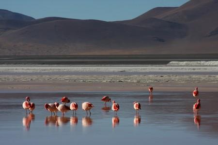 sud: Flamingos on the Laguna Colorada on the Sud Lipez Altiplano
