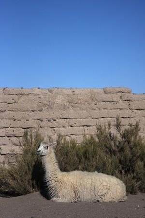 sud: Llama in Jijira Sud Lipez Altiplano
