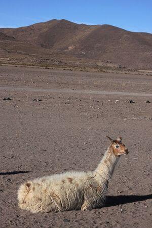 lipez: Llama in Jijira Sud Lipez Altiplano