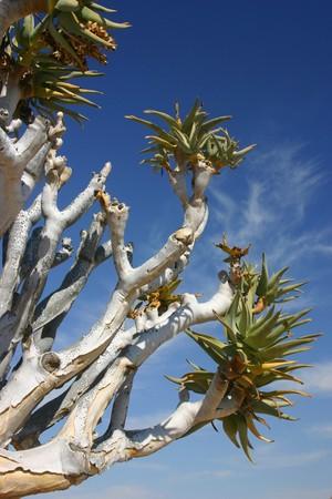namib: White tree in namib desert