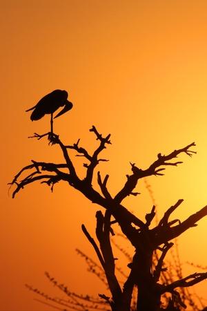 Marabou Stork in the sunset photo