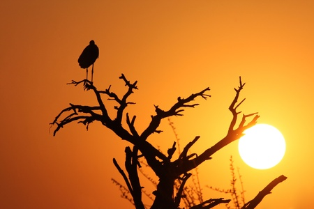 Marabou Stork in the sunset photo
