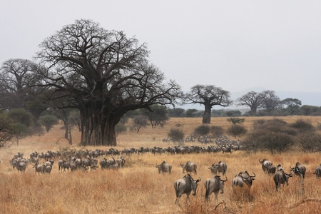 safari game drive: Migrazione degli gnu e di Baobab Archivio Fotografico