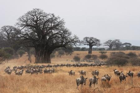 Wildebeest Migration and Baobabs Stock Photo