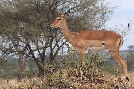 impala: Impala Female