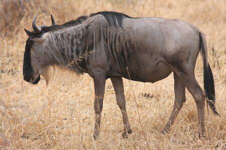 Wildebeest Stock Photo - 10300992
