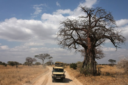 baobab: Game Drive in Tarangire National Park