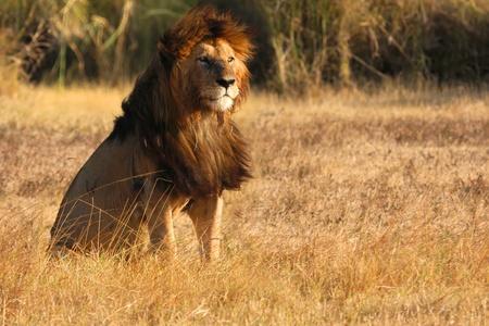 safari game drive: Vecchio leone nella luce del tramonto Archivio Fotografico