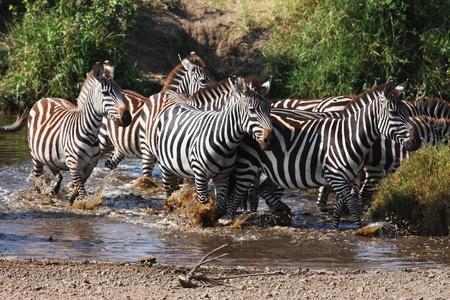 Afraid zebras crossing the river