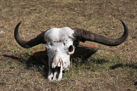 animal skull: Animal skull