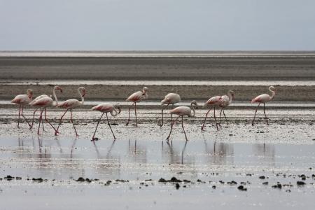 Flamingos in Natron Lake