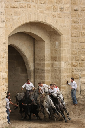 AIGUES-MORTES, FRANCE - OCTOBER 7 - Abrivado outside the fortress, in October 7, 2012 in Aigues-Mortes, France. Indigenous genre of bullfighting is common in Languedoc, and is known as course camarguaise Editorial
