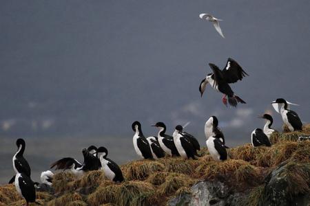 king cormorant: Imperial shag bird group