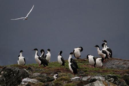 king cormorant: Imperial Shag cormorants