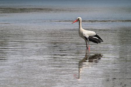 anima: Stork in the pond