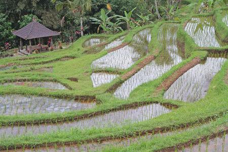 Jatiluwih ricefields, in Bali photo