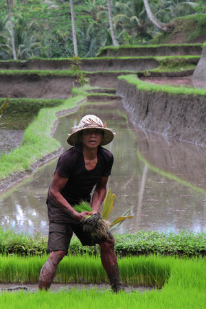 BALI, INDONESIA, AUGUST 12, 2014 : A farmer prepares the ricefields near Gunung Kawi. The Balinese economy is still largely agriculture-based in terms of both output and employment.