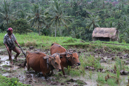 BALI, INDONESIA, AUGUST 17, 2014 : A farmer prepares the ricefields with a harness of oxen near Tenganan. The Balinese economy is still largely agriculture-based in terms of both output and employment.