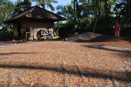 BALI, INDONESIA, AUGUST 9, 2014 : Drying coffee grains in a Balinese farm. The Balinese economy is still largely agriculture-based in terms of both output and employment.