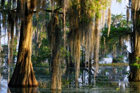 Musgo español en el pantano de Luisiana Foto de archivo - 40610778