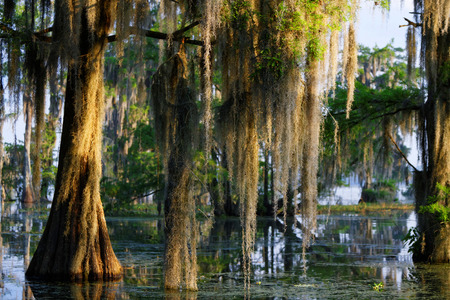 cypress: Spanish moss in the Louisiana Bayou Stock Photo