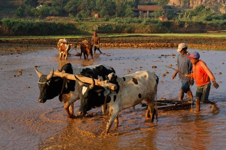 BETAFO, MADAGASCAR, November 17, 2015 : The terraced paddy fields of the central highlands of Madagascar are mainly occupied by rice fields, farmed by traditional agriculture techniques, as zebu-pulled plow.