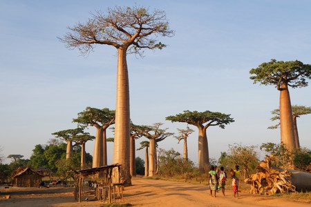 alley of baobabs: MORONDAVA, MADAGASCAR, November 22, 2015 : Alley of the Baobabs is a prominent group of baobab trees lining the dirt road near Morondava. Its striking landscape draws travelers from around the world. Editorial