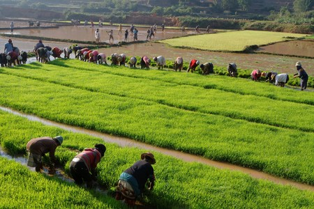 farmed: BETAFO, MADAGASCAR, November 18, 2015 : The terraced paddy fields of the central highlands of Madagascar are mainly occupied by rice fields, farmed by traditional agriculture techniques Editorial