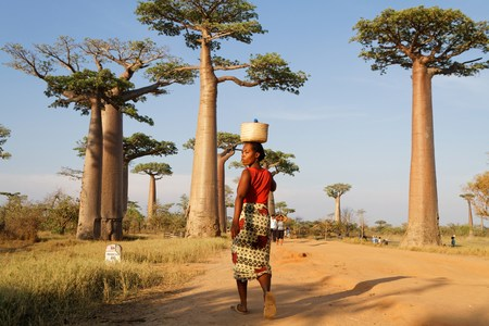 MORONDAVA, MADAGASCAR, November 22, 2015 : Alley of the Baobabs is a prominent group of baobab trees lining the dirt road near Morondava. Its striking landscape draws travelers from around the world. Editorial