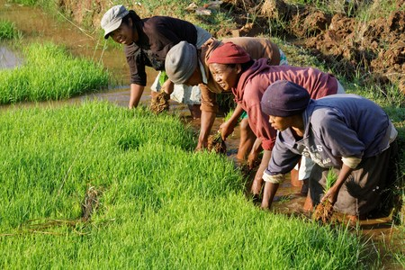 occupied: BETAFO, MADAGASCAR, November 18, 2015 : The terraced paddy fields of the central highlands of Madagascar are mainly occupied by rice fields, farmed by traditional agriculture techniques Editorial