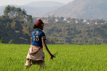 nominated: BETAFO, MADAGASCAR, November 17, 2015 : Woman in the irrigated rice paddies. They are emblematic of the Malagasy highlands and were nominated to the World Heritage Sites lists.