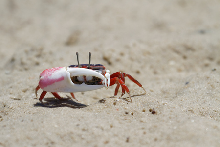 fiddler: A fiddler crab, sometimes known as a calling crab, is Found in mangroves, in salt marshes, and on sandy or muddy beaches