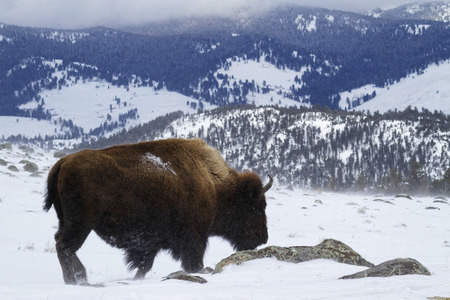 Bison in Winter landscape, Yellowstone National Park