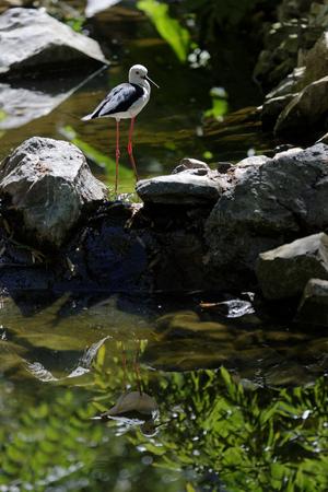 A black-winged stilt on the river