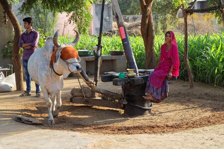 RANAKPUR, INDIA, November 3, 2017 : A noria, also called sakia or Persian Wheel, powered by a cow in the countryside.