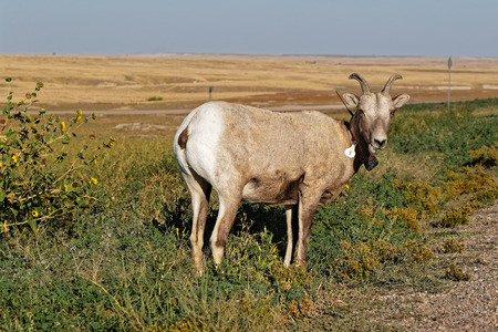 A bighorn sheep in the Badlands National Park