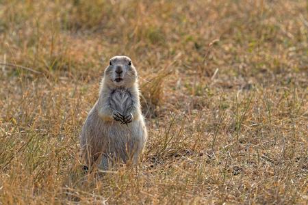 Prairie Dog in Custer state park