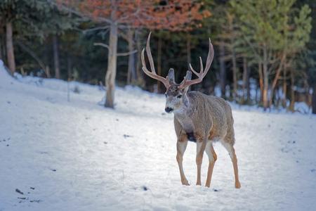 Male mule deer walking out of the woods, Yukon