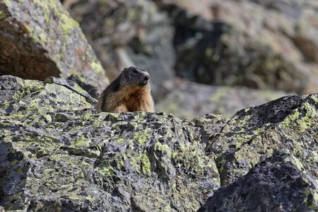 A grounhog looks out the landscape over the rocks