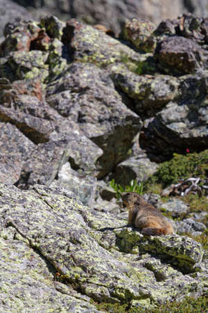 A gounghog on the rocks of Chamrousse