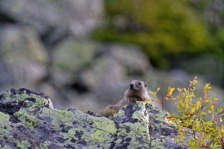 Gounghog (Marmotta marmotta) on the slopes of Chamrousse resort
