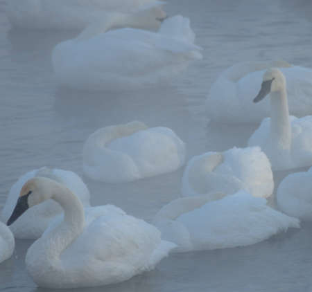 cygnus buccinator: Trumpeter swans in a morning fog on the Mississippi River in Minnesota during winter