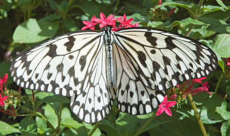 The Paper Kite butterfly is also called Rice Paper Butterfly and Tree Nymph Butterfly from southeast Asia. As seen on red star flowers with a green background.